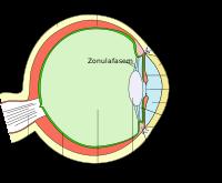 Die funktion der retina also der netzhaut des auges die die